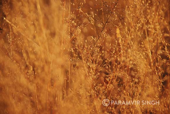 Wild grass florets and seeds.