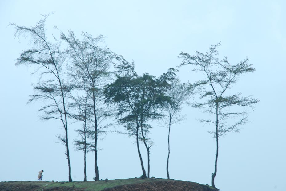 Suru (Casurina) Trees sway in the monsoon breeze, Kashid Beach