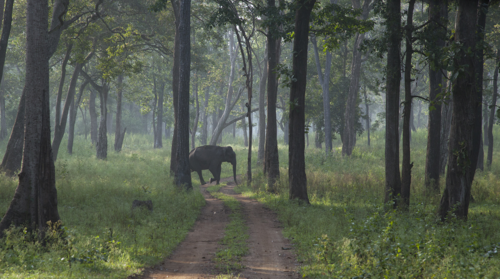 wild elephant crossing 1