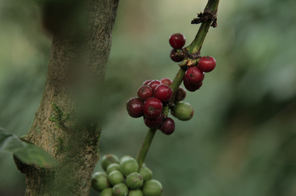 Coffee fruits in Madikeri, Coorg