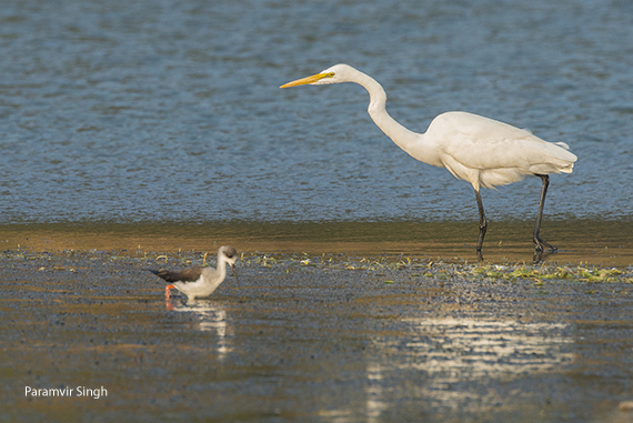 Great Egret, also known as Large Egret (Ardea alba)