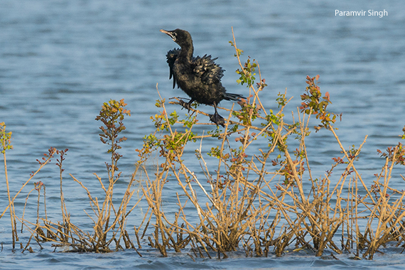 Indian Cormorant (Phalacrocorax fuscicollis)