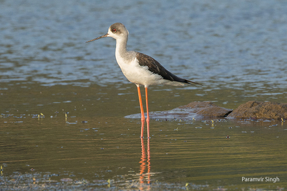 Black Winged Stilt (Himantopus himantopus).