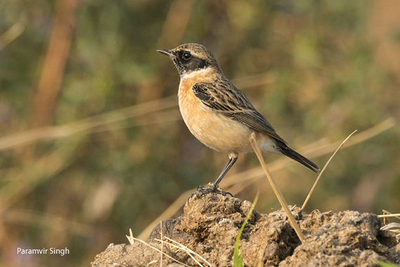 black-throated-accentor