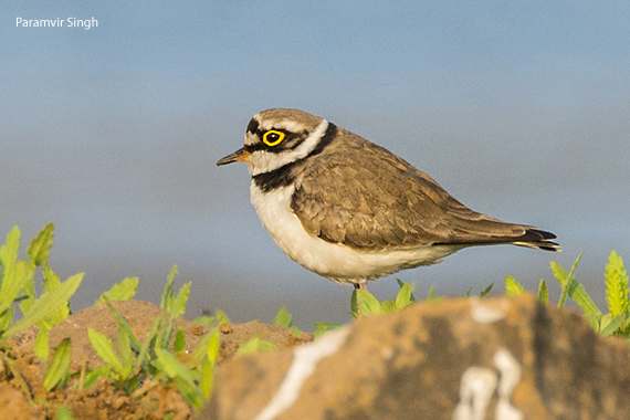 little_ringed_plover