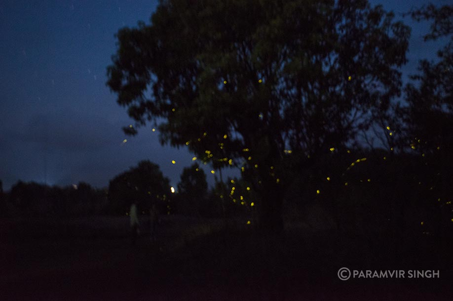 fireflies in purushwadi, maharashtra