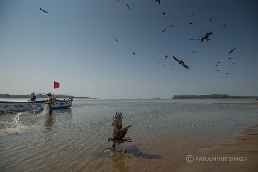 As fishermen bring their catch, a lot of the fish is sadly destroyed and mutilated. This cannot be sold and is thrown back into the water, attracting these Pariah Kites.