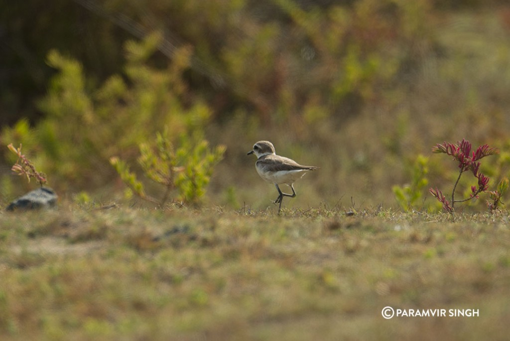A Kentish plover at Point Calimere Wildlife Sanctuary