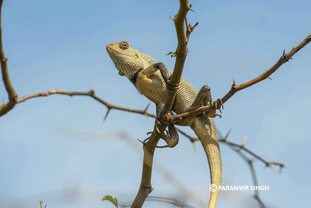 Indian Garden Lizard in Kodaikarai Wildlife Sanctuary