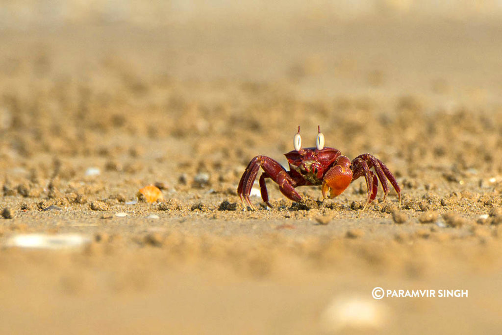 Crab at point Calimere Wildlife Sanctuary
