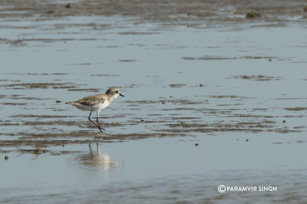 Plover at Point Calimere Wildlife Sanctuary