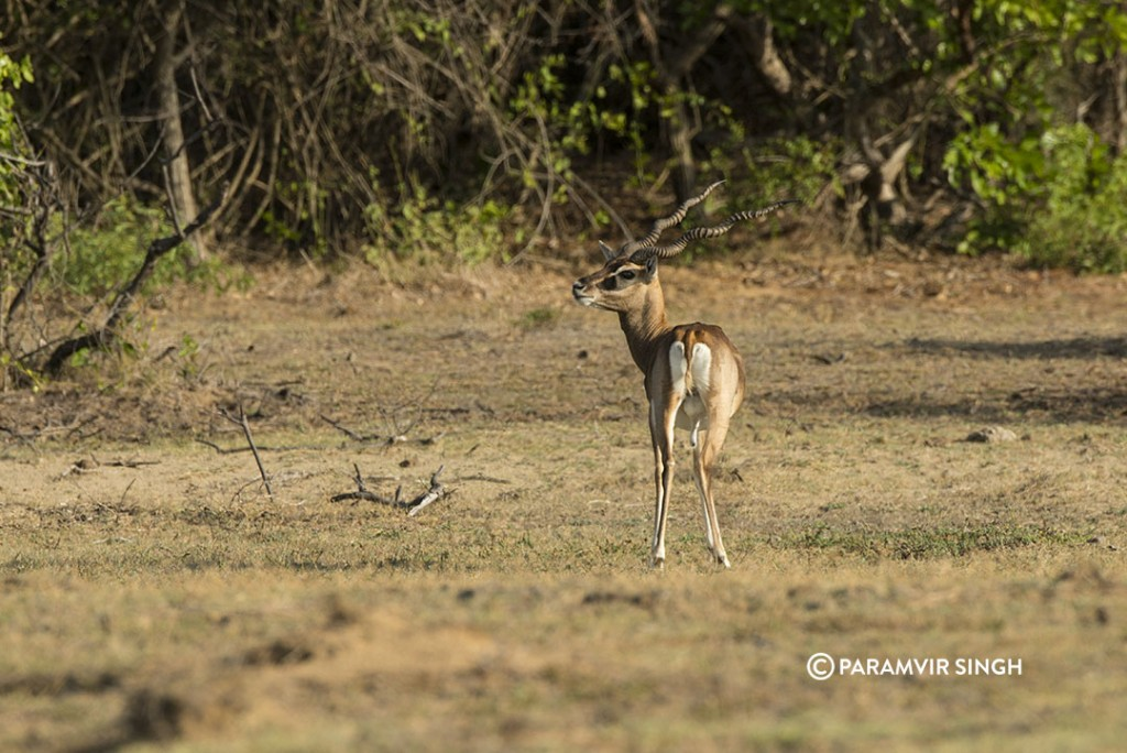 A male blackbuck at Point Calimere Wildlife Sanctuary