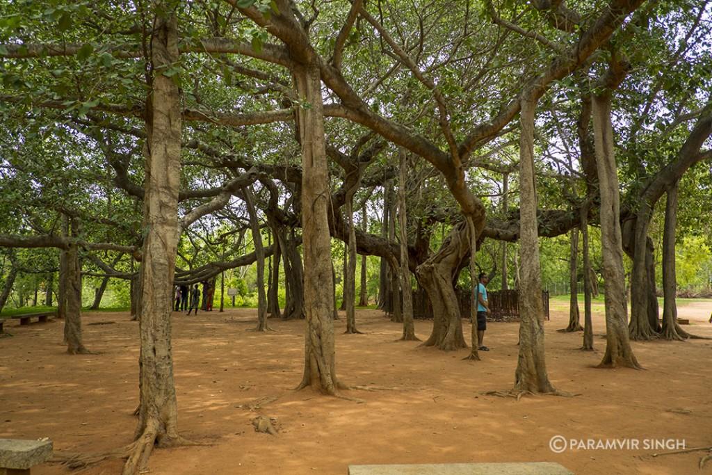 Old banyan Tree, Auroville