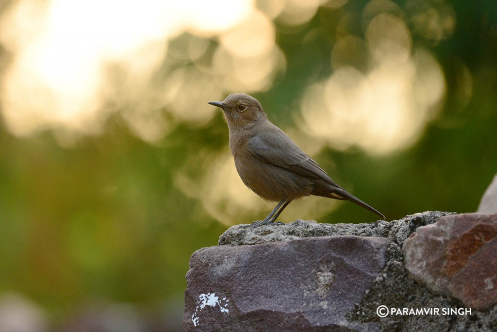 Ranthambhore Fort Brown Rock Chat