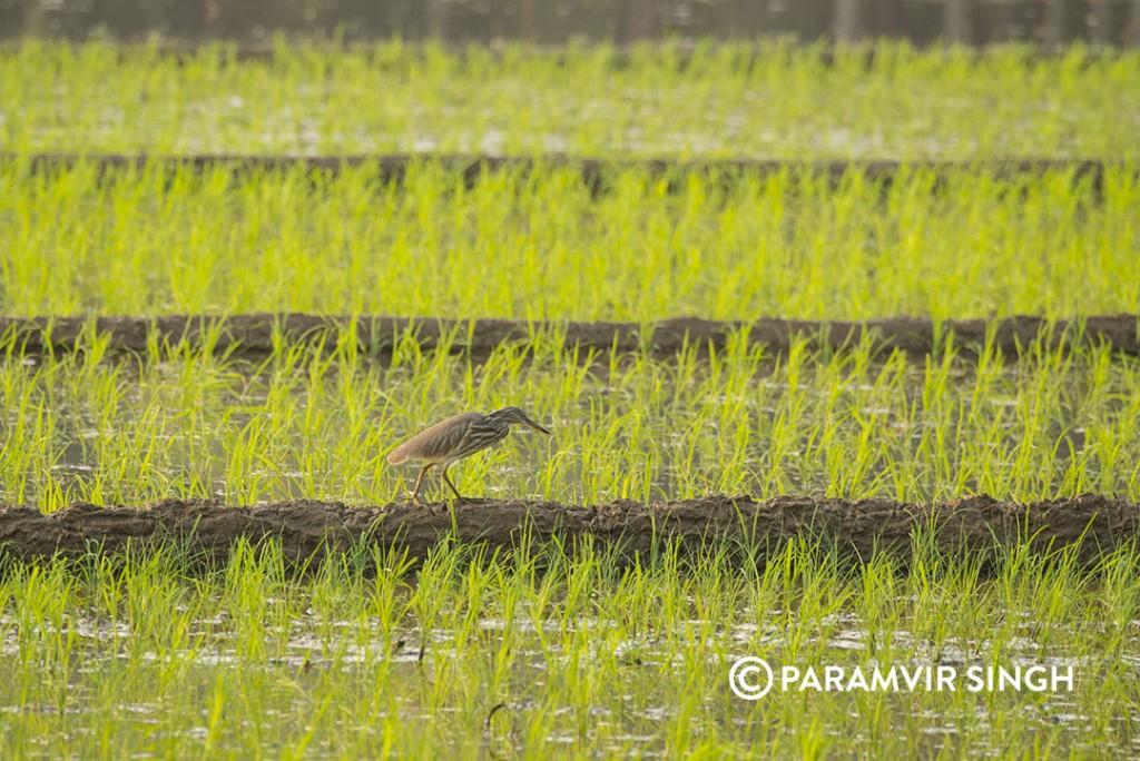 pond heron3