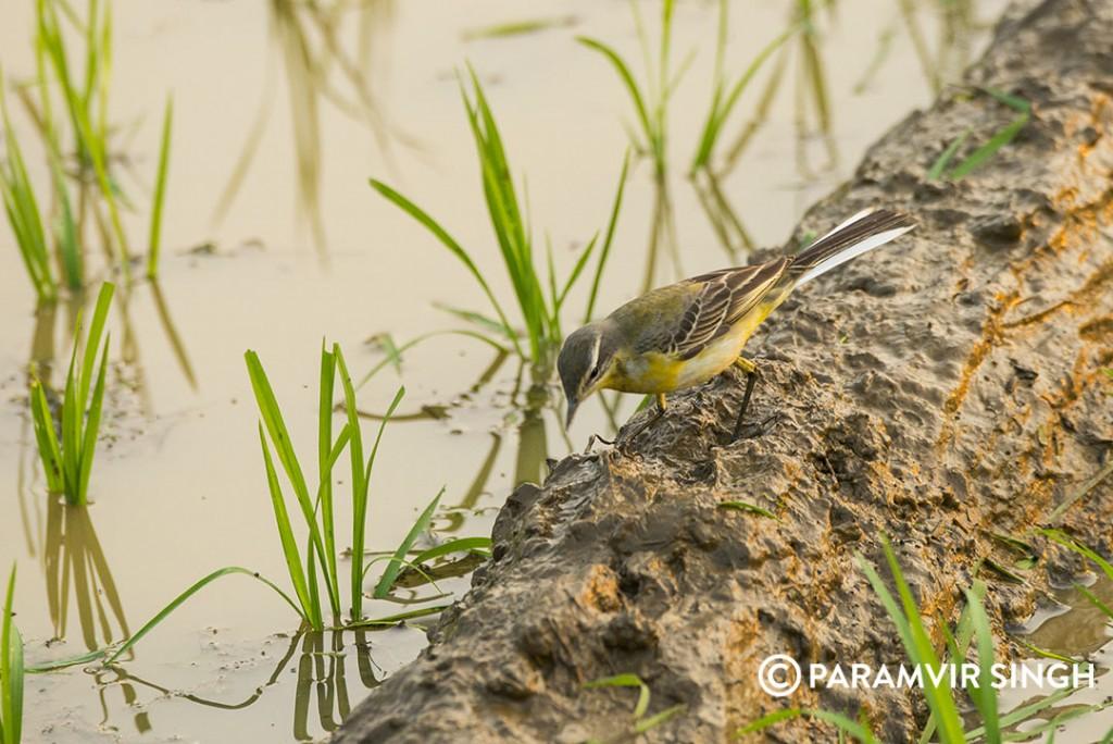 yellow-wagtail