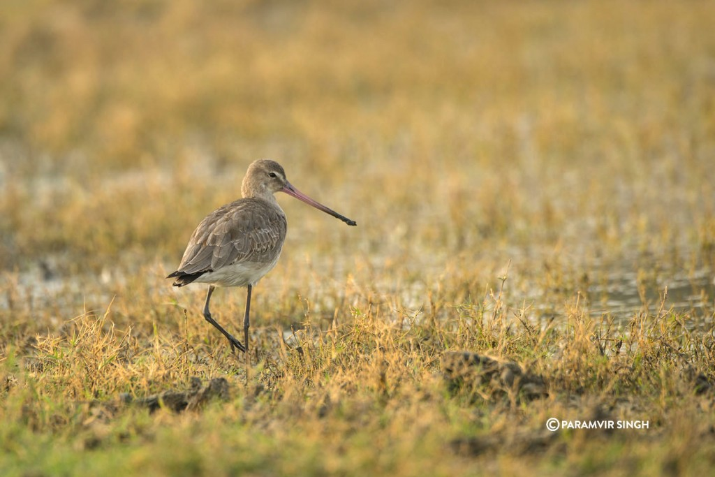 A Black Tailed Godwith (Limosa limosa), another winter visitor.