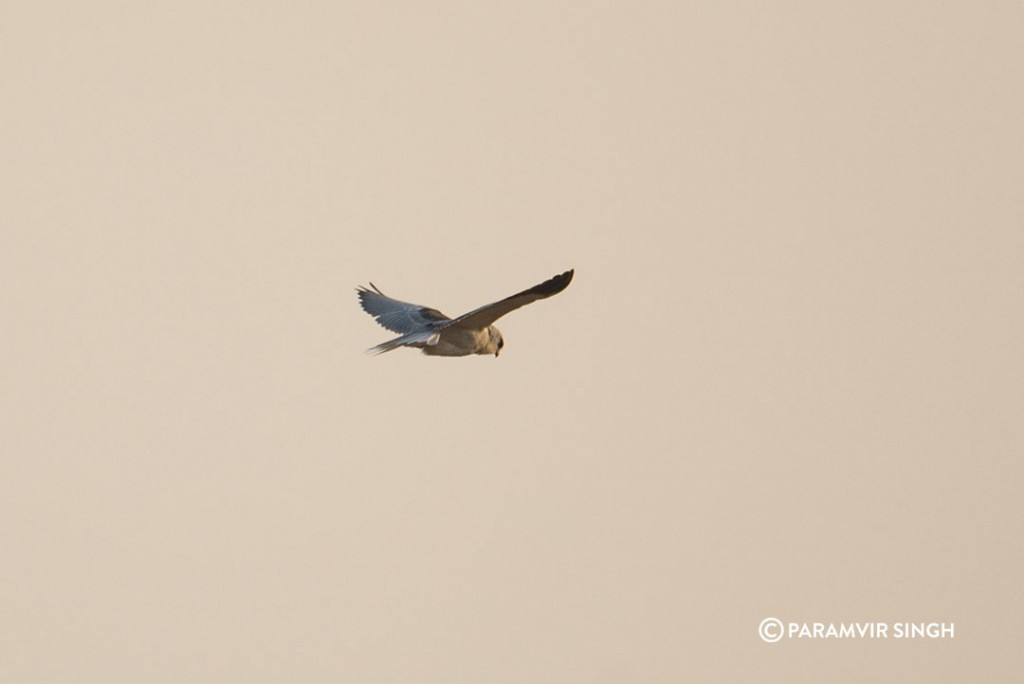 black_winged_kite