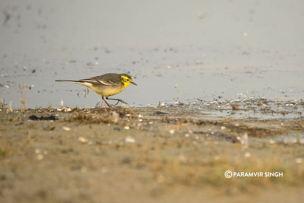 An Eastern Yellow Wagtail (Motacilla tschutschensis) forages for insects in the water edge.