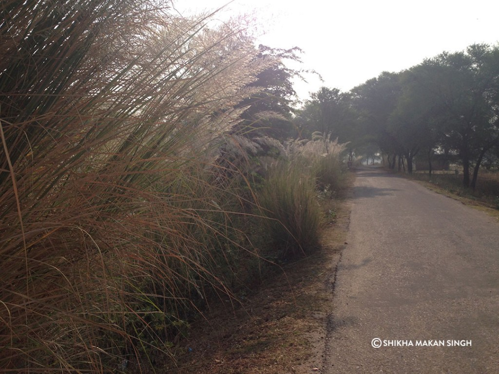 beaitiful Sarkhanda Grass in bloom near Lalsot, Rajasthan.