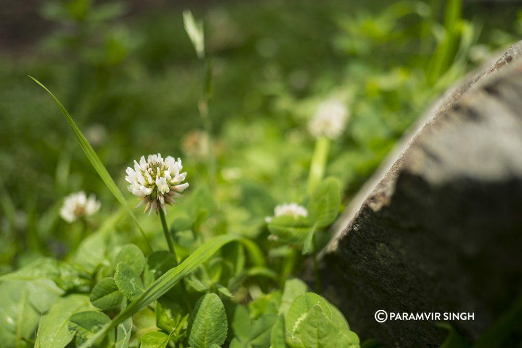 Nashala wild flower.