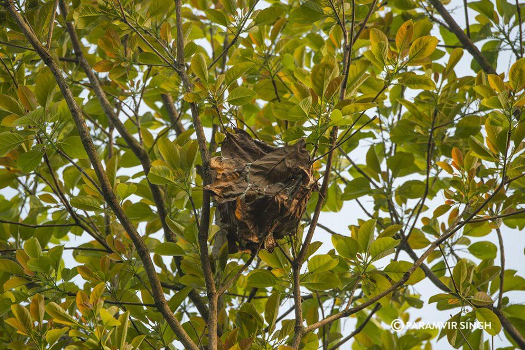 weaver ant nest.
