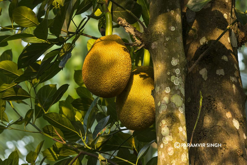 Jack Fruits in the tree. They can be eaten raw, cooked, or ripe as sweet fruits. Elephants love them!