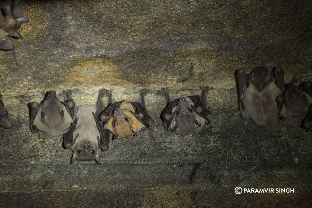 Bats in Lonar Temple.