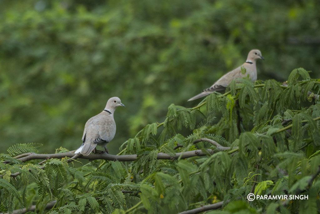 Collared Doves Lonar