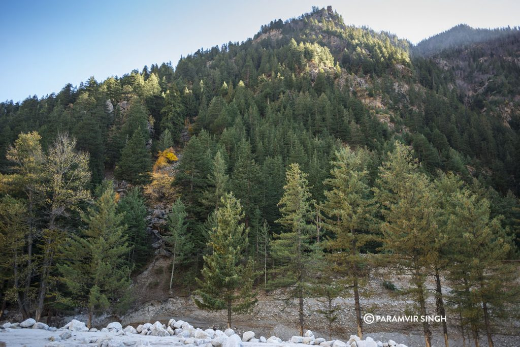 Sangla Valley Pine forest.
