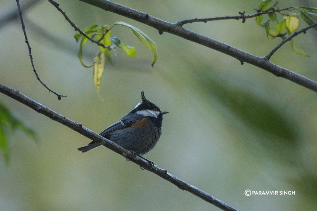 Spot Winged Tit (Parus melanolophus)
