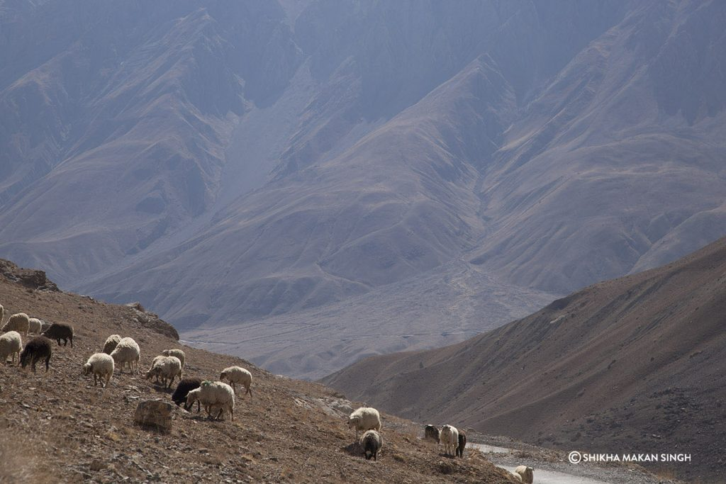 Sheep grazing, Spiti Valley, India