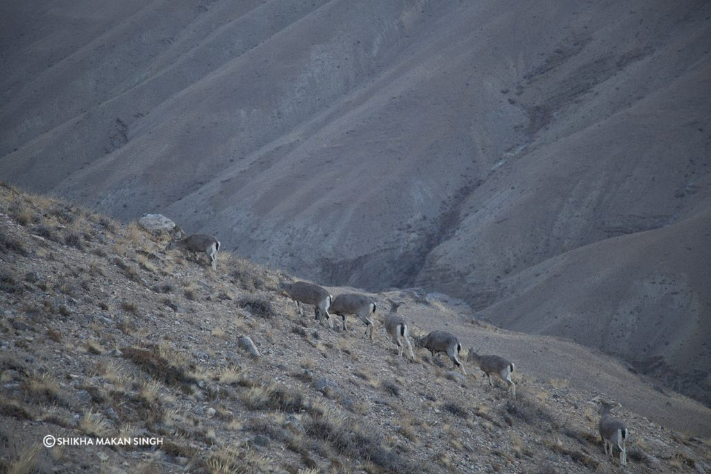 A herd of Bharat Sheep, Spiti Valley, Himachal Pradesh, India