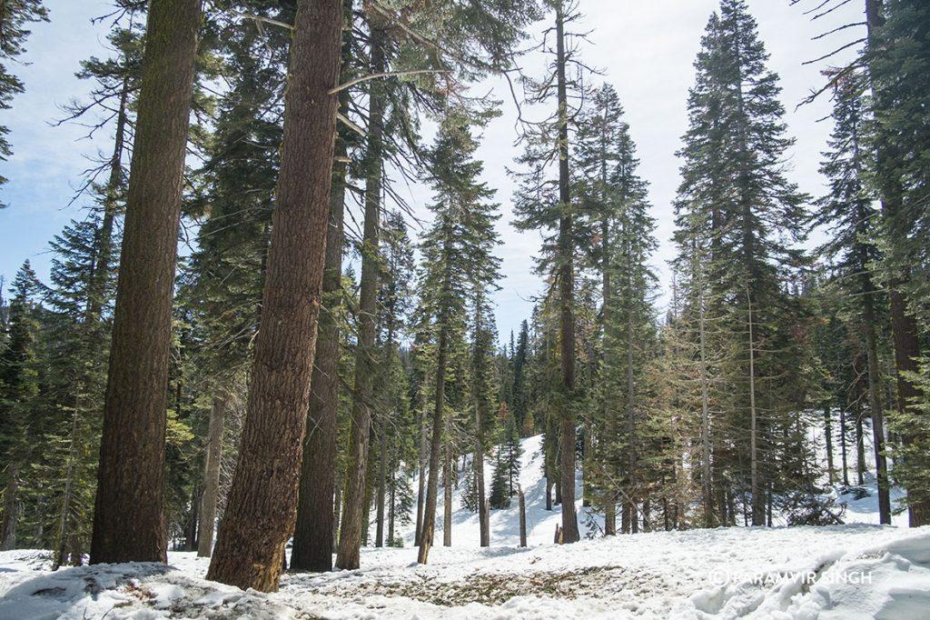 Giant Sequoias amidst snow