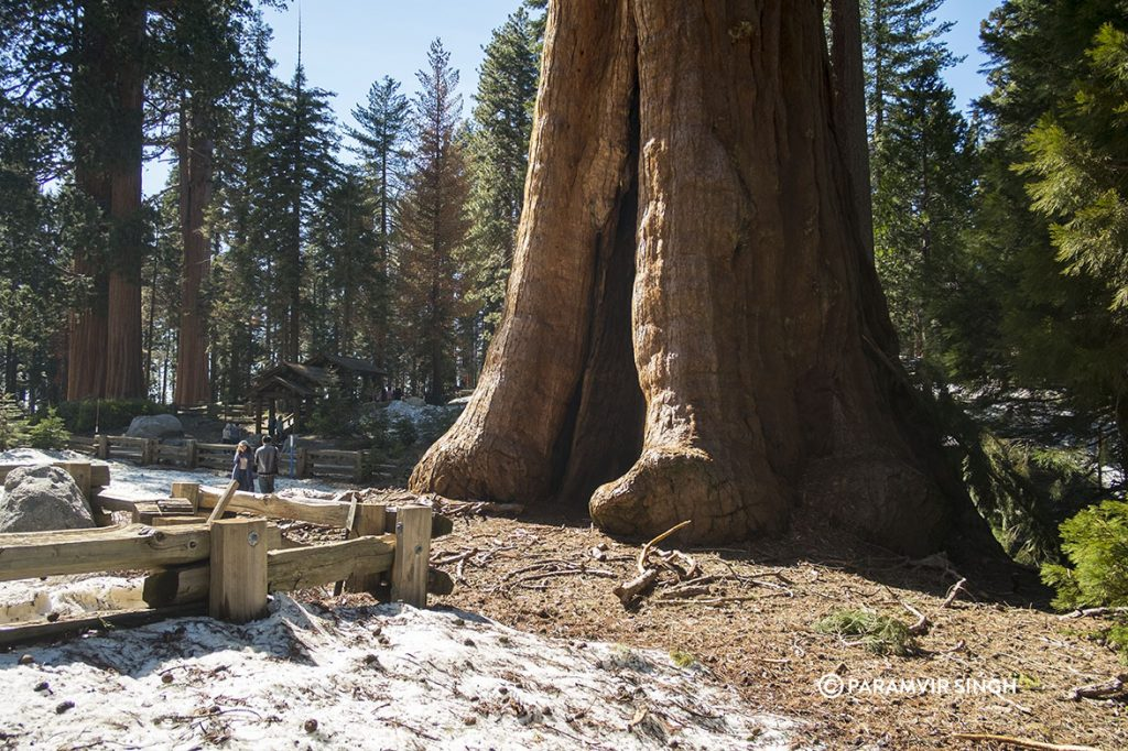 Giant Sequoia in Sequoia National Park