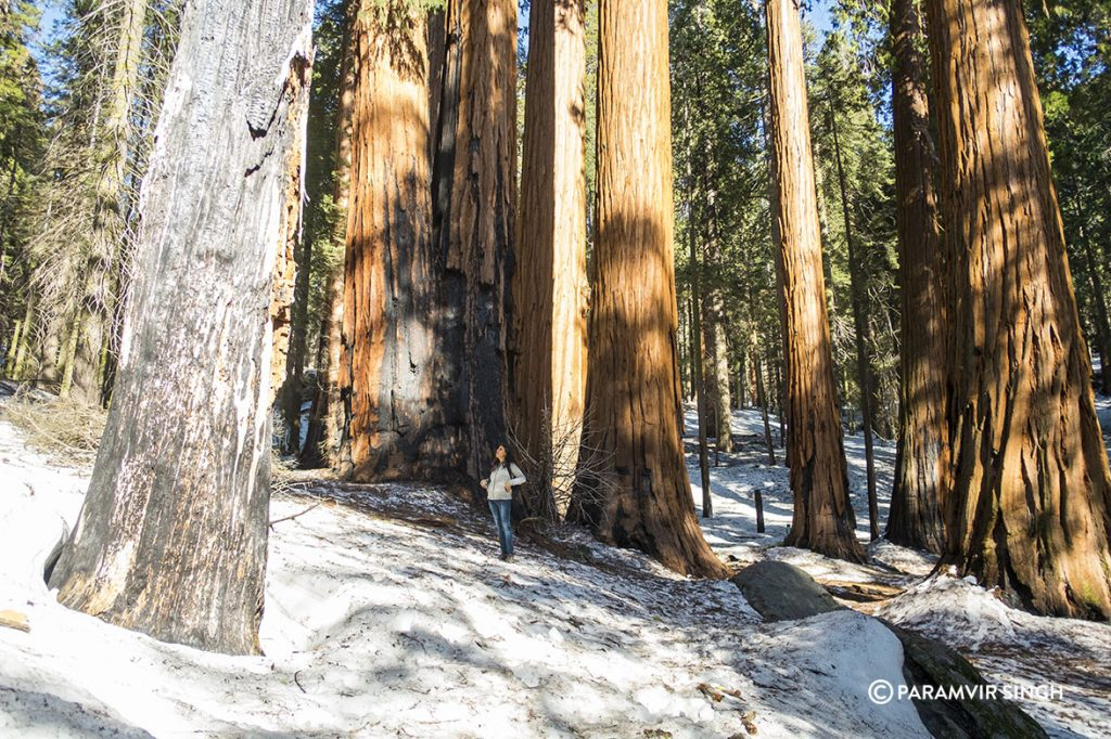 Giant Sequoias in Sequoia National Park