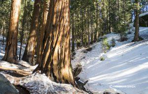 Sequoia Tree Trunk