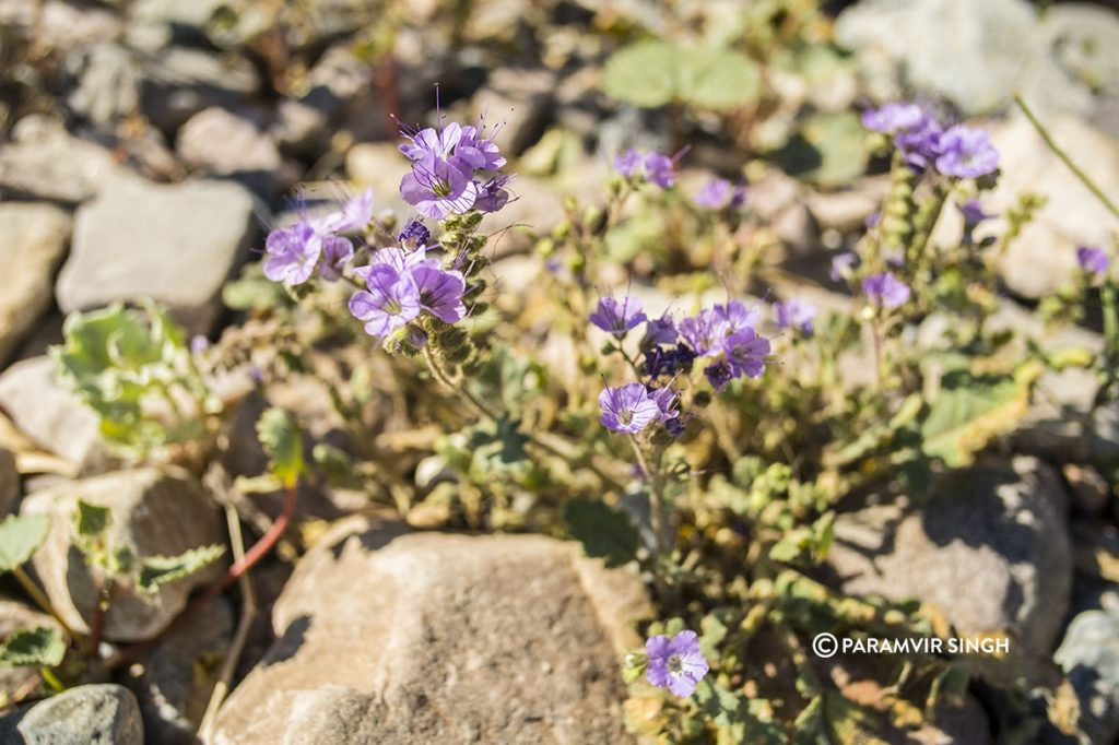 Wildflowers at Furnace Creek Visitor Center
