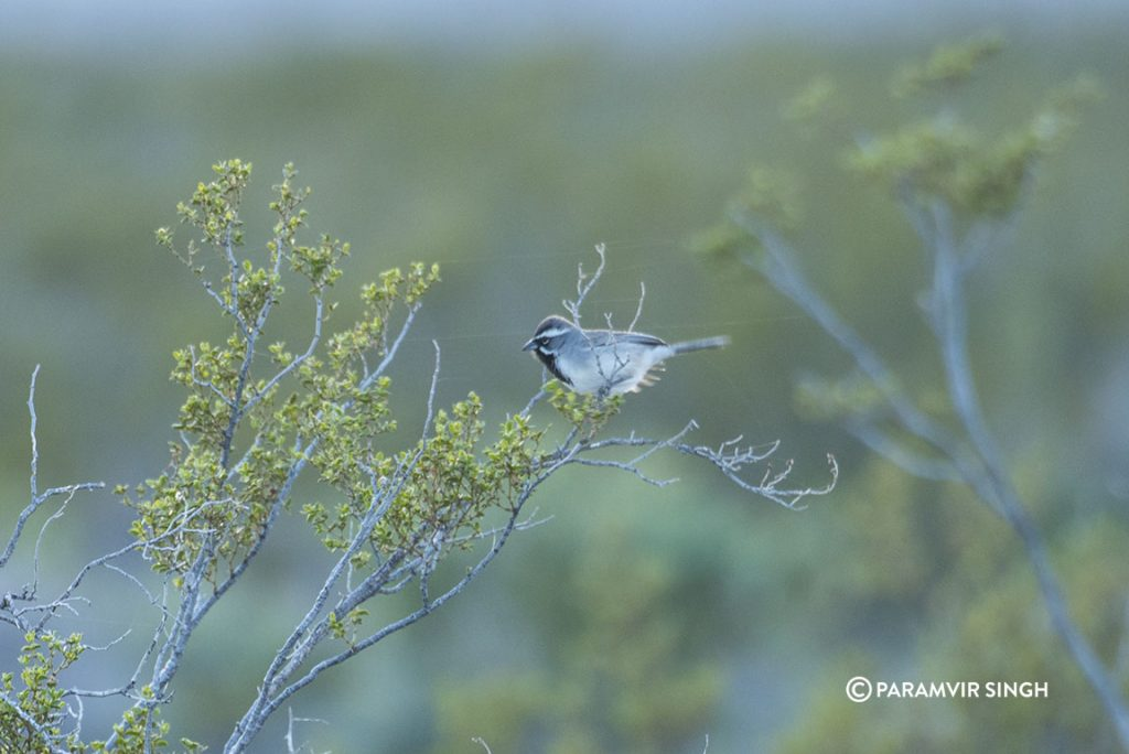 Black Throated Sparrow in Nevada
