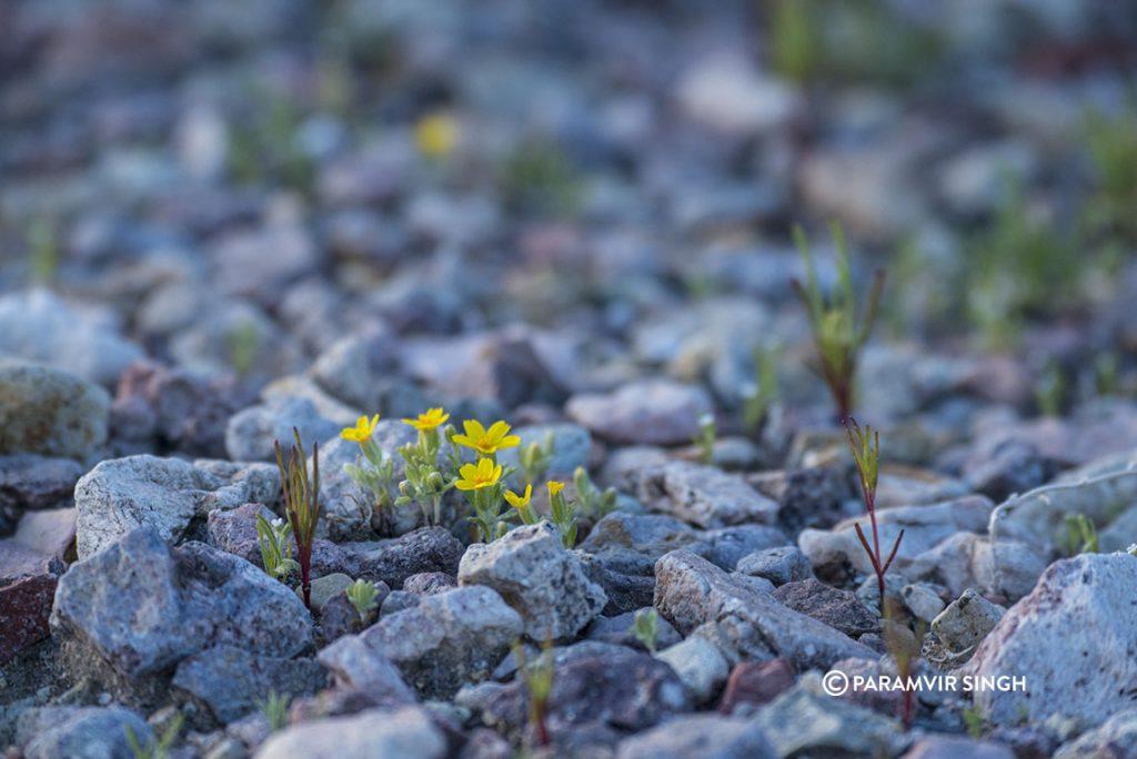 Wildflowers in Nevada