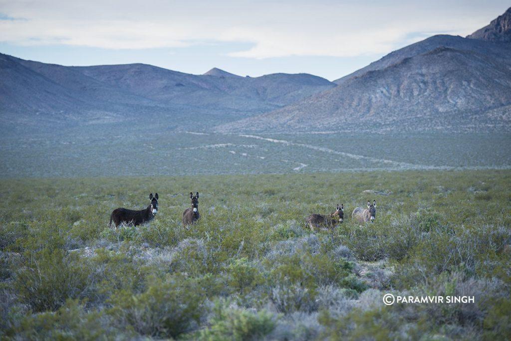 Burros in Nevada