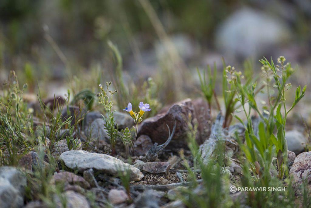 Tiny wildflowers, Nevada