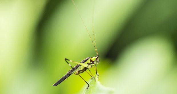 Grasshopper in Tungareshwar Wildlife Sanctuary