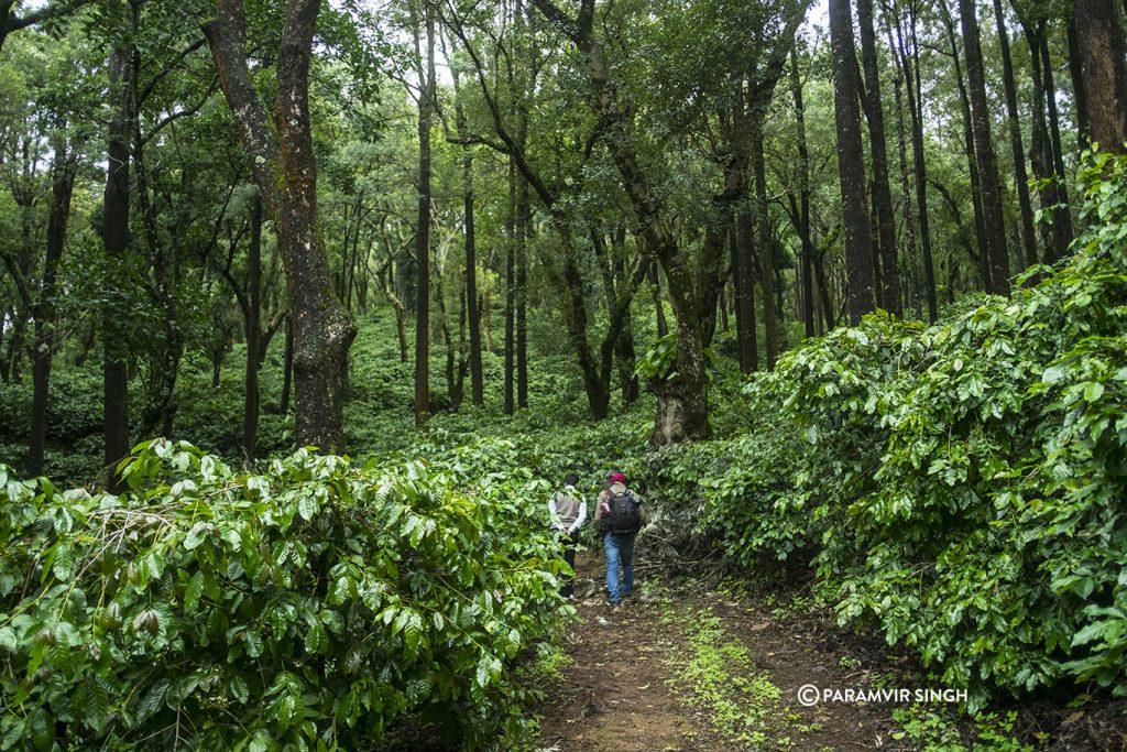 Trails amidst coffee plantations