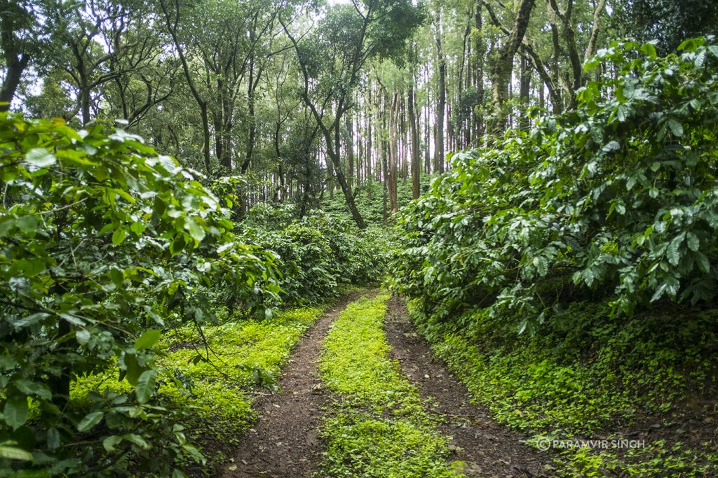 Tracktor ruts in coffee plantations of Chikmagalur