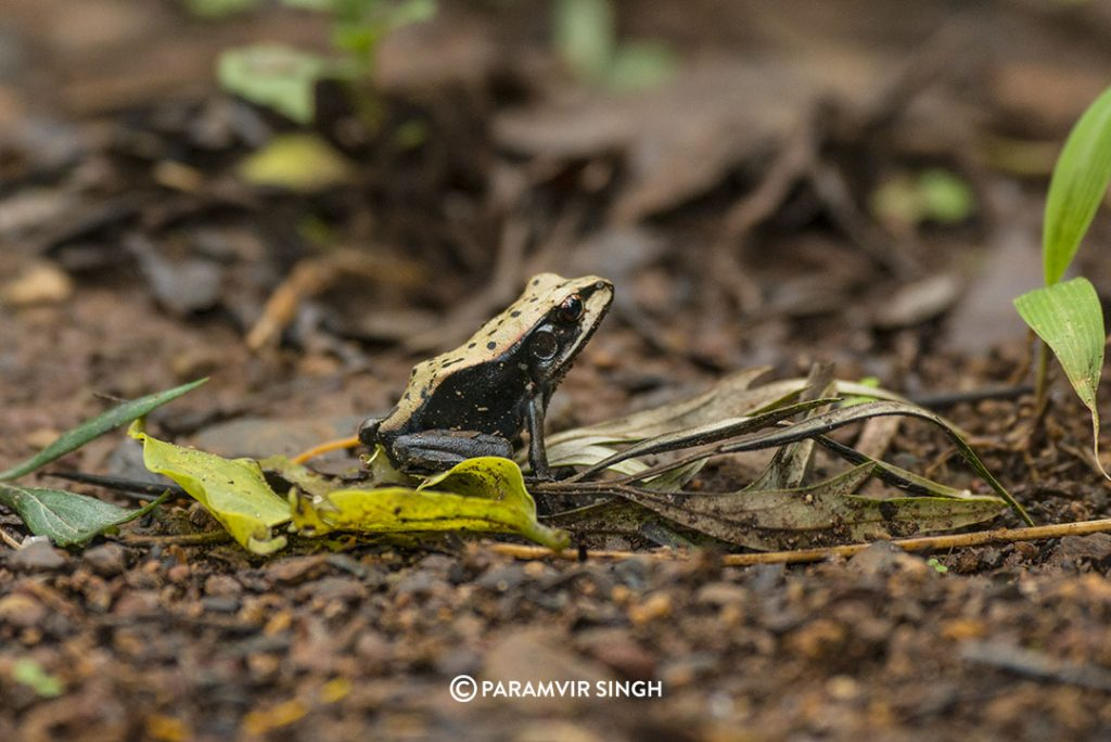Frog in Chikmagalur