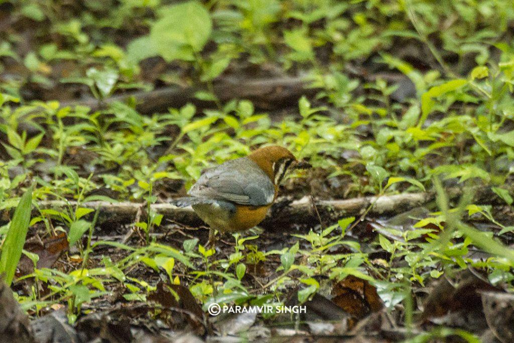 The orange-headed thrush (Geokichla citrina)