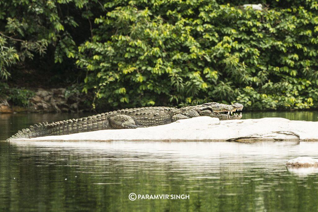 A Muggermach or Mugger Crocodile (Crocodylus palustris ) basks in the sun at Ranganathittu.