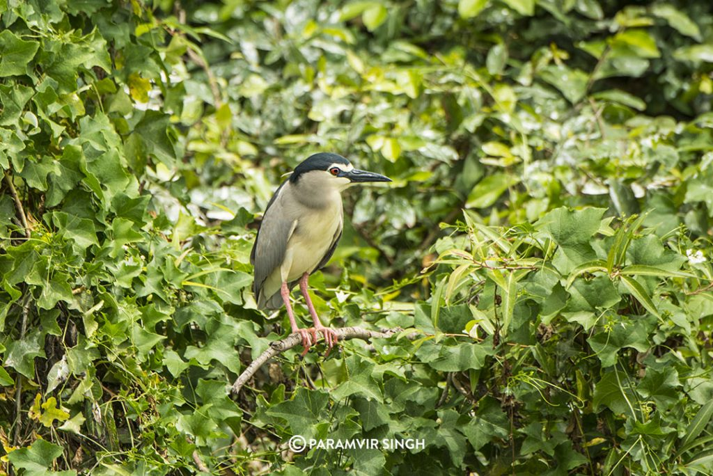 Black-Crowned Night Heron (Nycticorax nycticorax) at Ranganathittu Bird Sanctuary