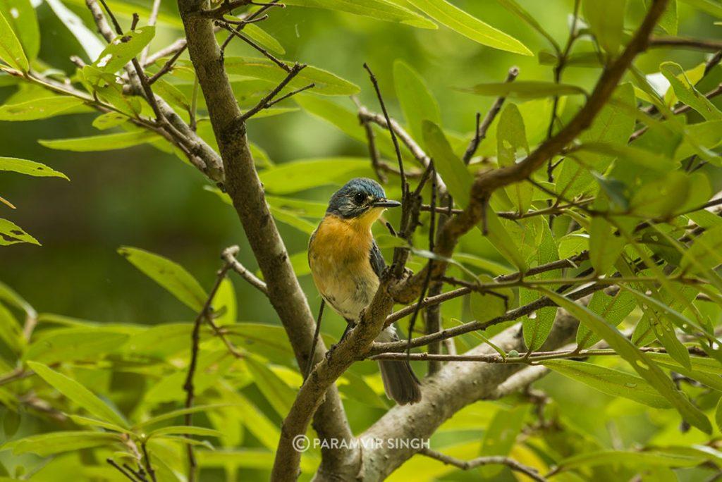 Tickell's BlueFlycatcher (Cyornis tickelliae) at Ranganathittu Bird Sanctuary